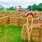 Burrs Berry Farm - Hay Maze